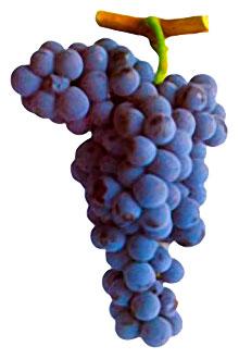 Grapes Alicante Bouschet