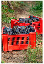 Grapes in the vineyard after picking