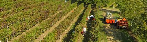 Vineyard in Friuli-Venezia Giulia