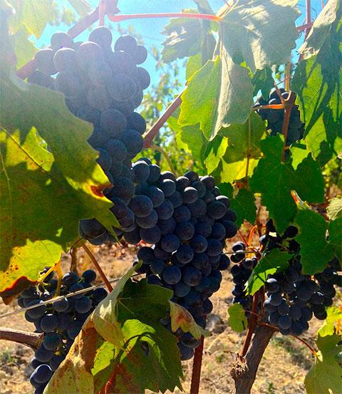Barbera Grapes in the Vineyard