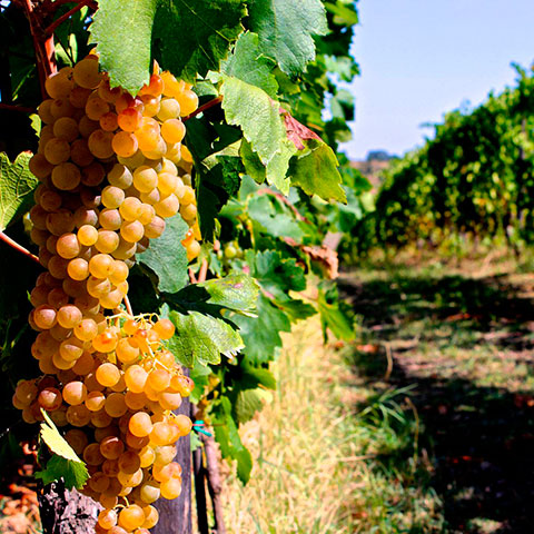 Grapes Cortese in the Vineyard