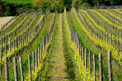 Vineyard in Piedmont