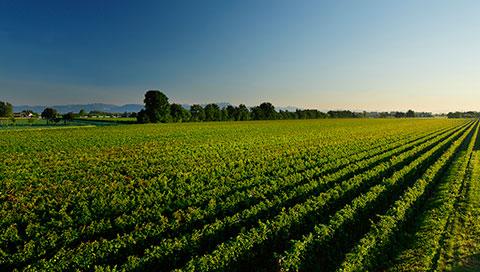 Vineyard in Le Ronche Estate
