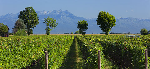 Vineyard in Pra' Longo Estate