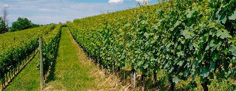 Vineyard in Piemonte