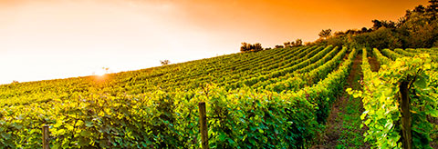 Image of the vineyard in Franciacorta