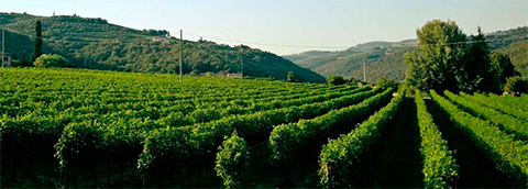 The vineyard in Veneto region