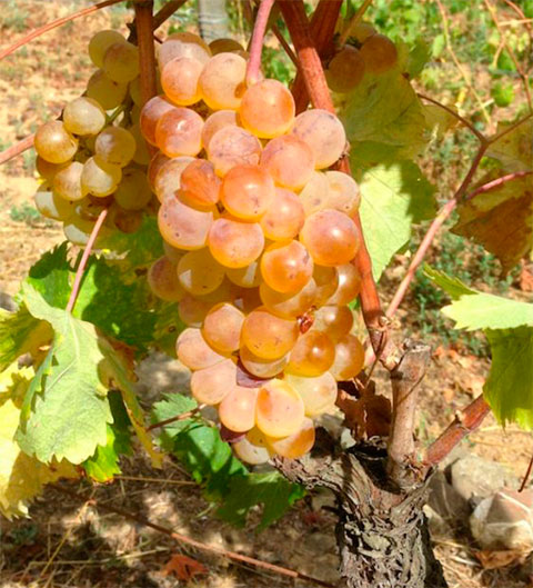 The grapes Pigato in the Vineyard