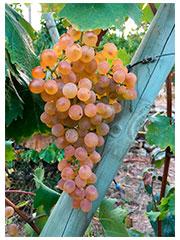 Pigato Grapes