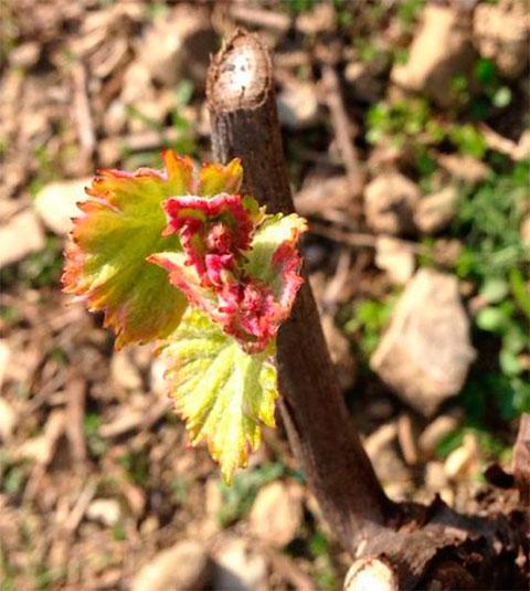 Pigato Vine