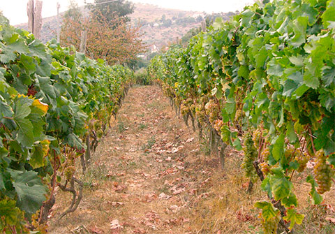 The vineyard with the grapes Pigato