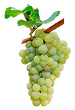 Grapes Riesling