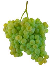 Grapes Alvarinho