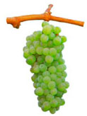 Grapes Antao Vaz