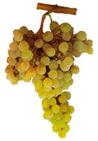 Grapes Arinto