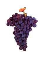 Grapes Castelao