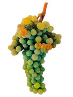 Grapes Moscatel