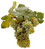 Wine Grapes Nuragus