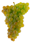 Grapes Trajadura